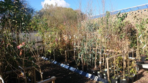 Ornamental Trees - Fresh Stock now in!